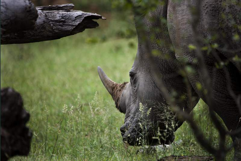 FILE- In this March 5 2019 file photo, a white rhinoceros grazes in Kruger National Park, South Africa. South African customs officials have seized more than $3.5 million worth of rhino horns at the O.R Tambo International Airport in Johannesburg Thursday Feb. 4, 2021. A shipment of the 18 pieces of horns weighing 63 kilograms (139 pounds) destined for Malaysia was discovered at the airport's courier facilities.(AP Photo/Jerome Delay-File)